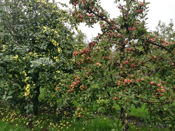 Thatchers Cider - Exhibition Orchard